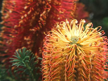 Banksia Flowers - Flowers for Everyone