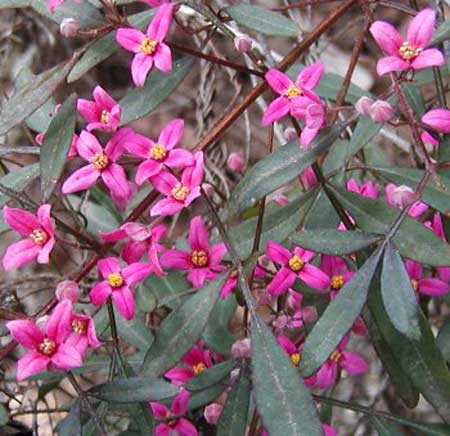 Boronia Flowers - Flowers for Everyone
