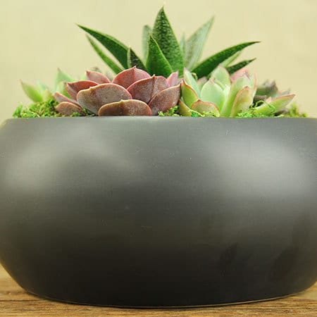 Succulents in Black Ceramic Pot