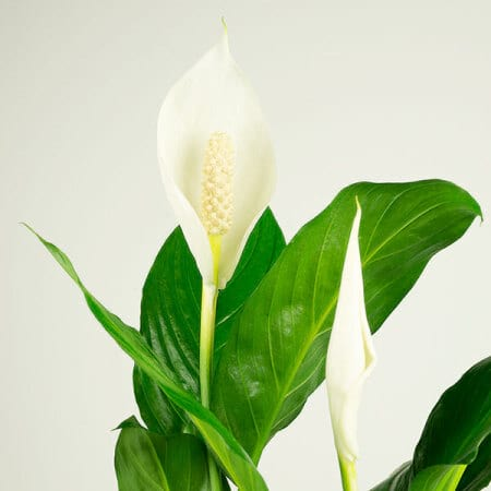Peace Lily Close Up