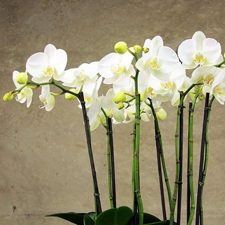 Delicate White Phalaenopsis Orchid Plants Delivered in Sydney