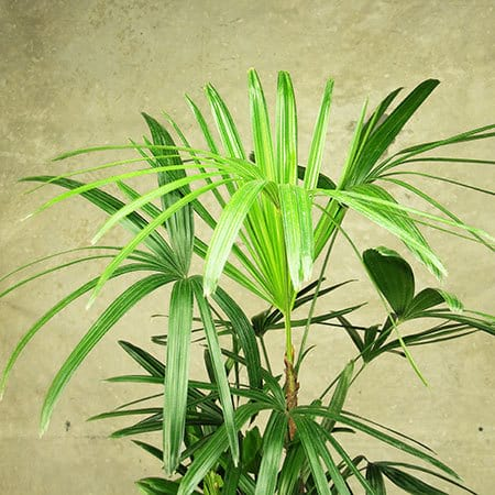 Lady Palm Plant Delivery Sydney