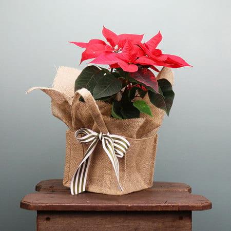 Poinsettia Plant for Christmas