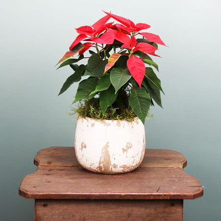 Red Poinsettia With White Pot
