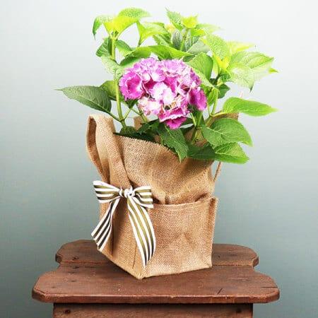 Hydrangea Plant Gift Bag