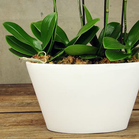 White Orchid Pot