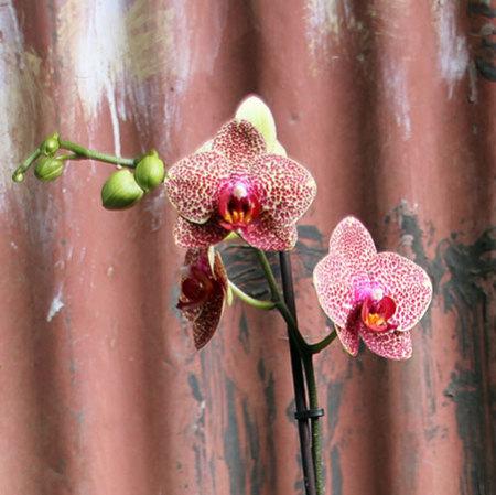 phael orchid