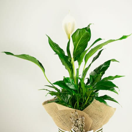 Natural Peace Lily Close Up