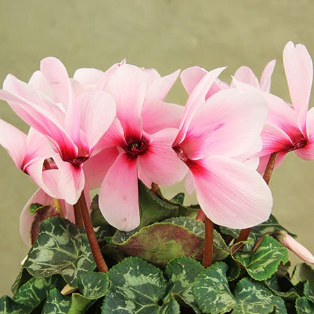 Pink Cyclamen Plant Petals