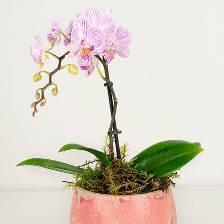 Sweet Pink Orchid Plant