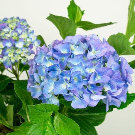 Blue Hydrangea Close Up