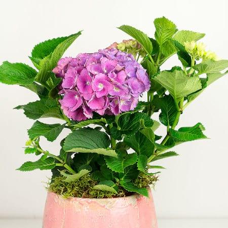 Pink Hydrangea Pot
