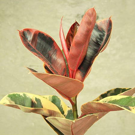 Ficus Ruby Plant Delivered Sydney