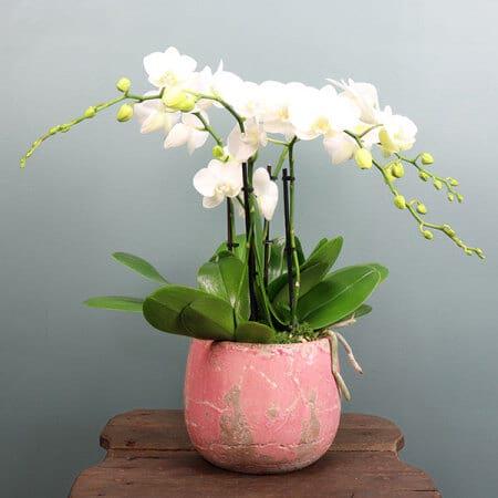 White Orchid Plant Pink Pot