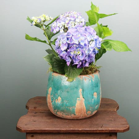 Pretty Blue Hydrangea Plant