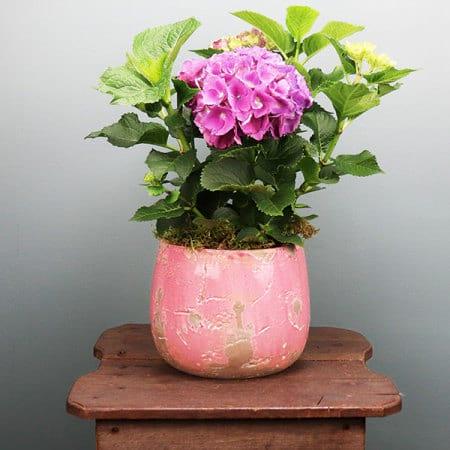 Pink Hydrangea in Pot