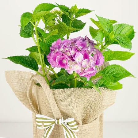 Pink Hydrangea Gift Bag Close Up