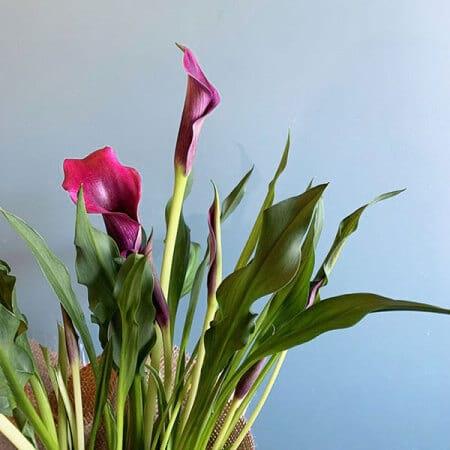 pretty calla lily plant delivered