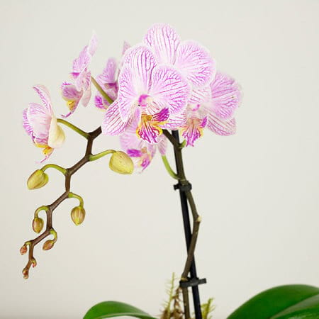 Sweet Pink Orchid Close Up