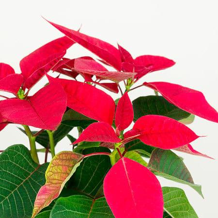 Red Poinsettia White Pot