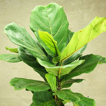 Fiddle Leaf Fig Plant Delivered Sydney