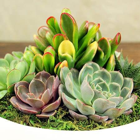 Mixed Succulents in Modern White Pot