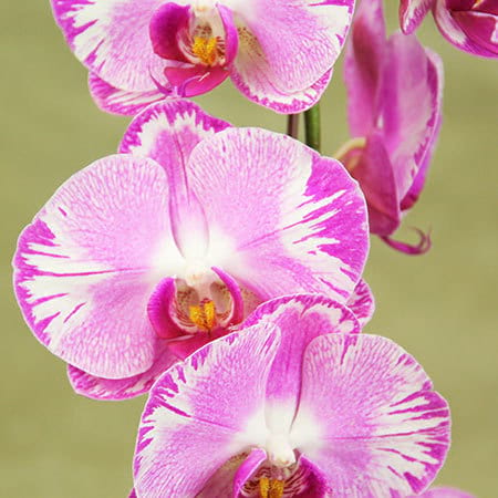 Pink-Orchid-Plant-Deliery