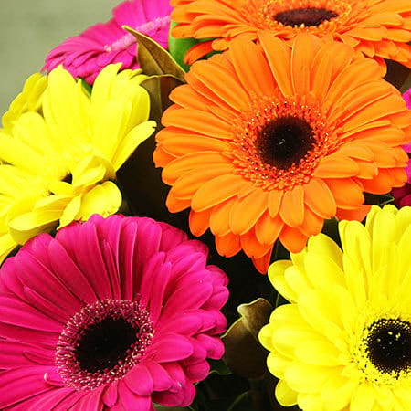Gerbera Flower Delivery