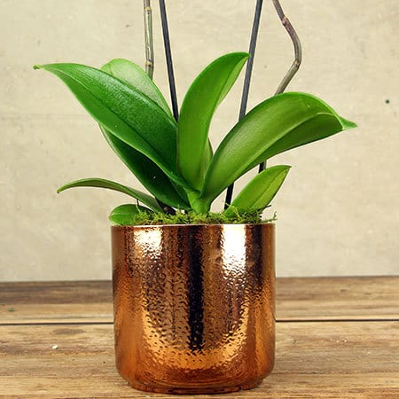 White Orchid Plant Delivered in Sydney