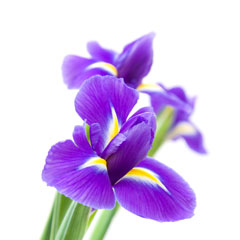 Picture Iris Flower on Irises   Online Iris Flower Guide   Flowers For Everyone
