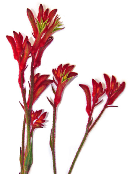 images of australian native flowers