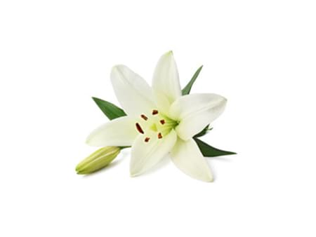 Lilies Online Lily Flower Guide Flowers For Everyone