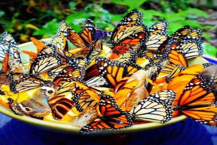 Attract Butterflies into your Garden