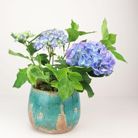 Blue Hydrangea Plant in Pot