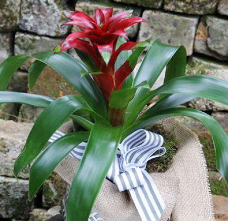 Bromeliad Plant  - Flowering Plant