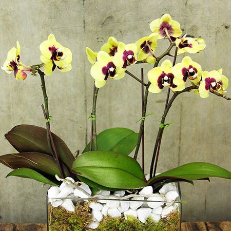 Christmas Orchids with Free Xmas Candle (Sydney Metro Region Only)
