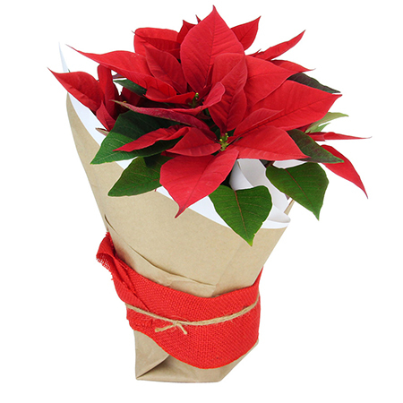 Christmas Poinsettia Plant Delivered in Sydney