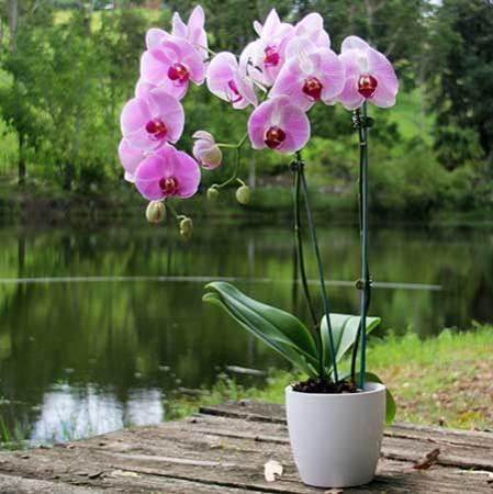 Classic Orchid Plant with Free Candle