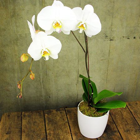 Classic Orchid