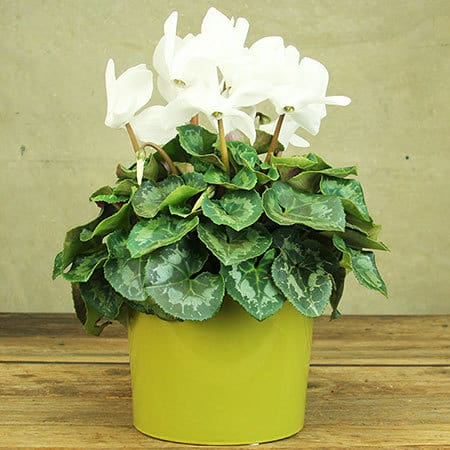 Classic White Cylcamen Plant Delivery Sydney