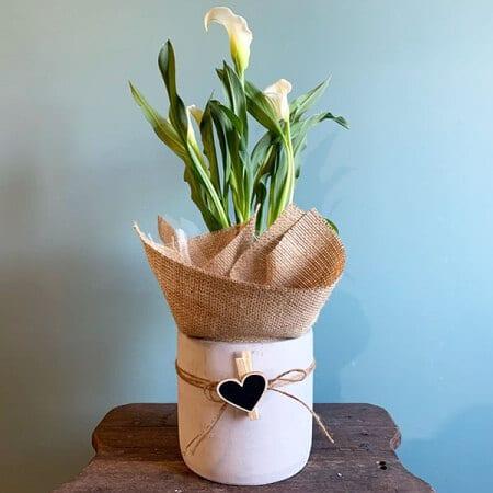 Contemporary Calla Lily Plant