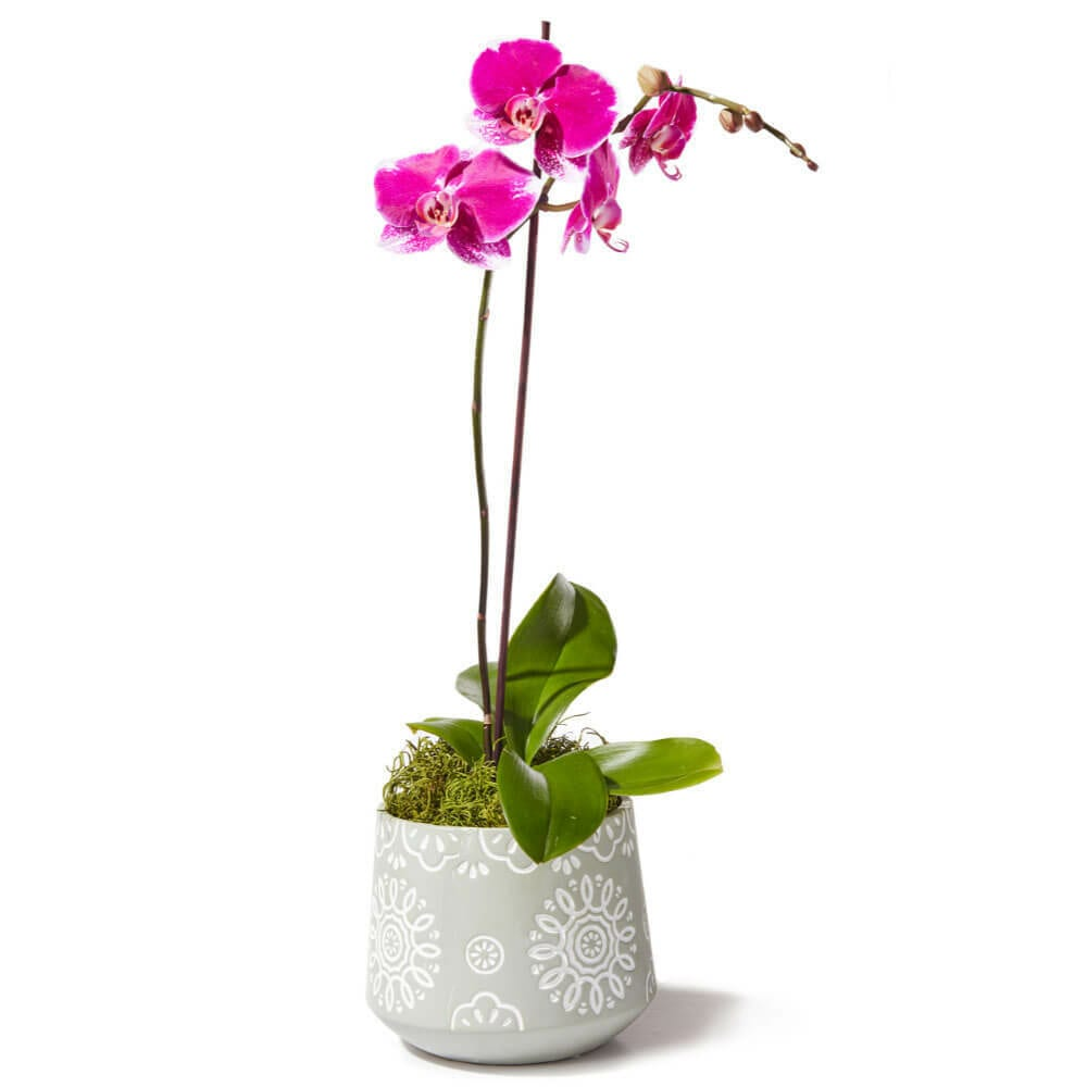 Contemporary Pink Orchid Plant