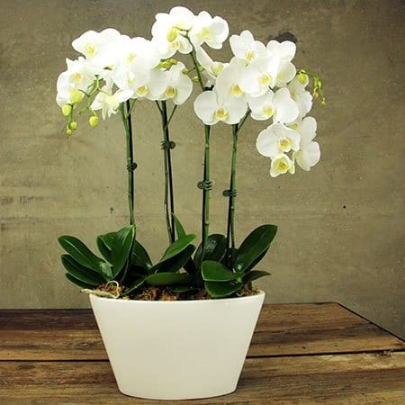 Contemporary White Orchid Plant