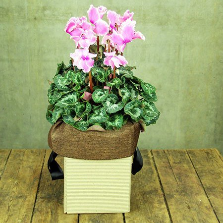 Cyclamen Plant with Free Candle (Sydney Only)