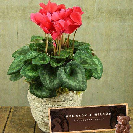 Cyclamen Plant & Teddy Bear Chocolates