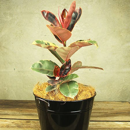 Ficus Ruby Plant Delivery Sydney