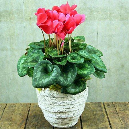 Flowering Cyclamen Plant