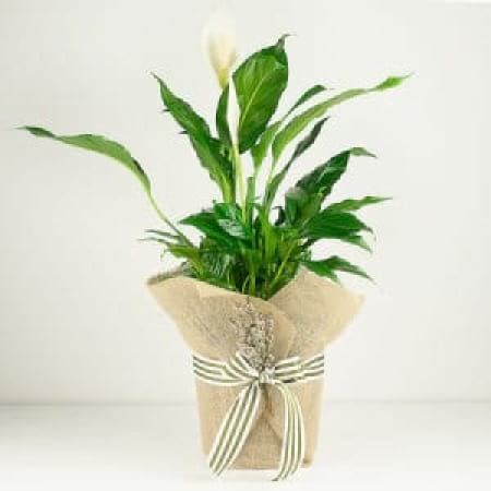 Peace Lily Plant for Mothers Day