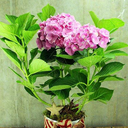 Hydrangea Plant Online