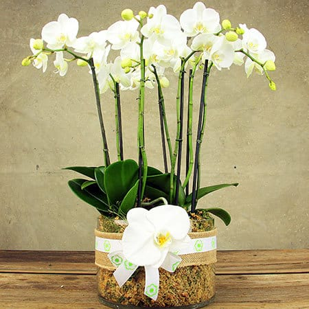 Large White Orchid Plant in Glass Vase Delivered in Sydney
